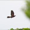 "PHILIPPINE CUCKOO DOVE <i>Macropygia tenuirostris septentrionalis</i> Batan, Batanes  more pictures in the <a href=""http://tonjiandsylviasbirdlist.smugmug.com/List/Doves-and-Pigeons/Philippine-Cuckoo-Dove/8609354_7KbTgn"">Philippine Cuckoo Dove gallery</a>"