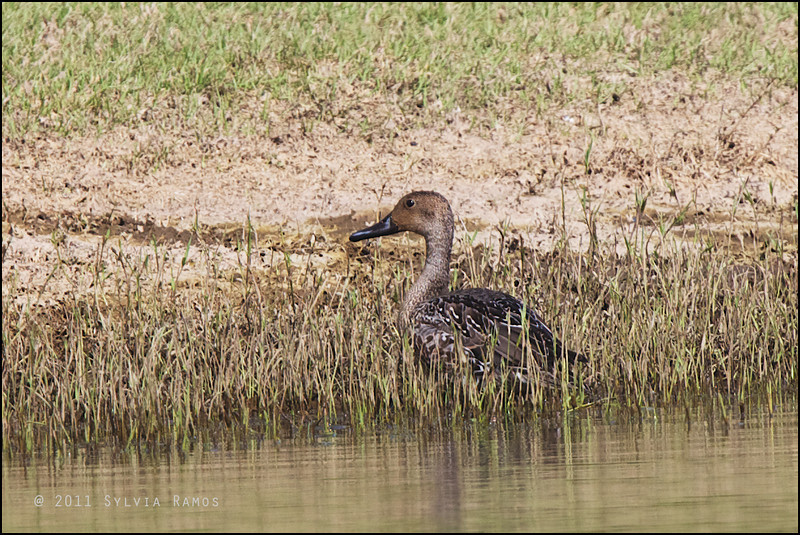 """NORTHERN PINTAIL, female <i>Anas acuta</i> Sabtang, Batanes, Philippines  more pictures in the <a href=""""http://tonjiandsylviasbirdlist.smugmug.com/List/Geese-and-Ducks/NP/10680687_H36ZHb"""">Northern Pintail gallery</i>"""