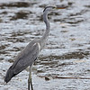 "GREY HERON <i>Ardea cinerea</i> Batan, Batanes, Philippines  more pictures in the <a href=""http://tonjiandsylviasbirdlist.smugmug.com/List/Herons-and-Bitterns/Grey-Heron/7354136_qX5T66"">Grey Heron gallery</a>"