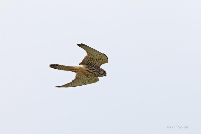 "EURASIAN KESTREL <i>Falco tinnuculus</i> Sabtang, Batanes, Philippines  more pictures in the <a href=""http://tonjiandsylviasbirdlist.smugmug.com/List/Falcons/ek/11035492_CSm33g"">Eurasian Kestrel gallery</a>"