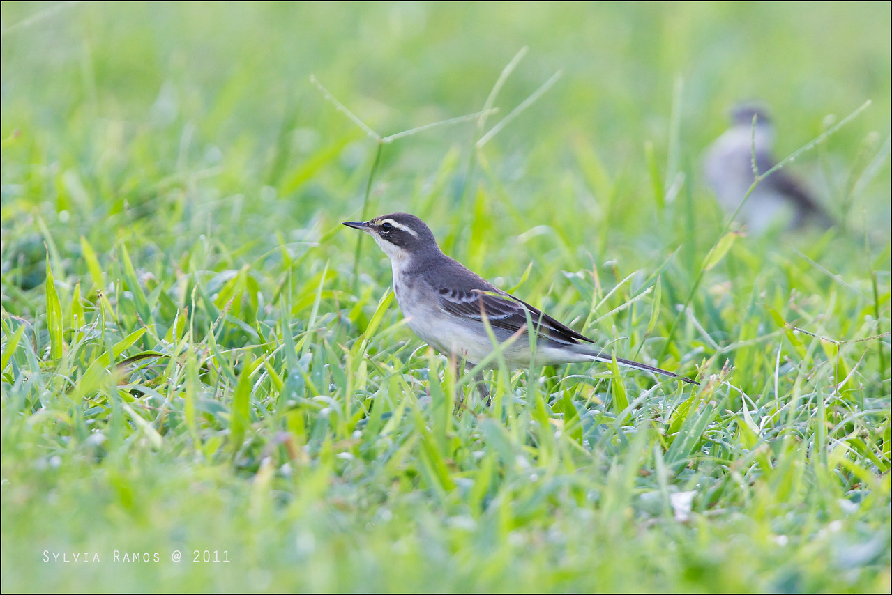 "YELLOW  WAGTAIL, immature <i>Motacilla flava</i> Basco, Batan, Batanes  more pictures in the <a href=""http://tonjiandsylviasbirdlist.smugmug.com/List/Wagtails-and-Pipits/Yellow-Wagtail/7339332_ZzxLnc"">Yellow Wagtail gallery</i>"