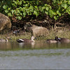 Northern Pintail female, Spot-billed Ducks, and Tufted Duck