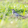 """WHITE WAGTAIL <i>Motacilla alba</i> Batan, Batanes  more pictures in the <a href=""""http://tonjiandsylviasbirdlist.smugmug.com/List/Wagtails-and-Pipits/White-Wag/19897508_JP4SKb"""">White Wagtail gallery</a>"""