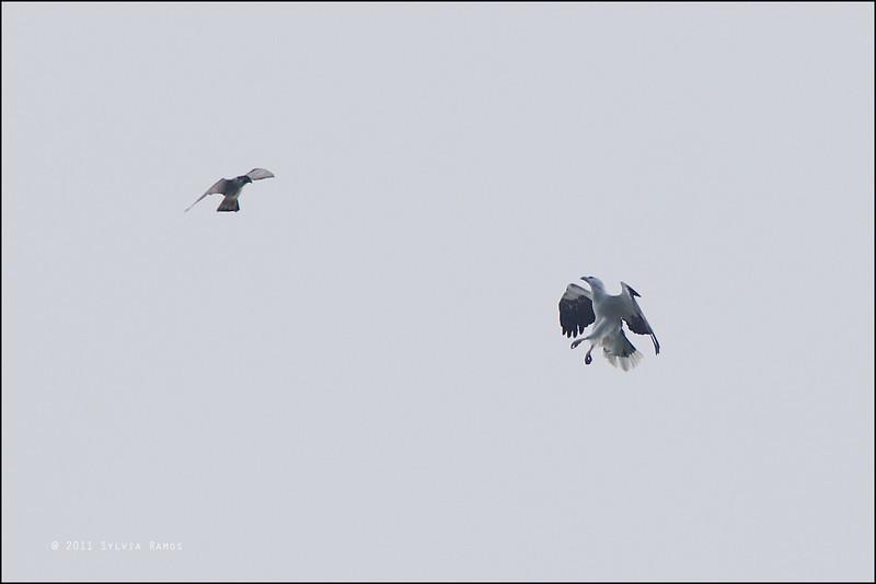"PEREGRINE FALCON and WHITE BELLIED SEA-EAGLE <i>Falco peregrinus and <i>Haliaeestus leucogaster</i> Batan, Batanes, Philippines  Mid-air skirmish! The Peregrine Falcon was the agressor!  more pictures in the <a href=""http://tonjiandsylviasbirdlist.smugmug.com/List/Eagles-Serpent-Eagles/White-bellied-Sea-Eagle/20129986_jfZrV9""> White Bellied Sea-eagle gallery</a>"