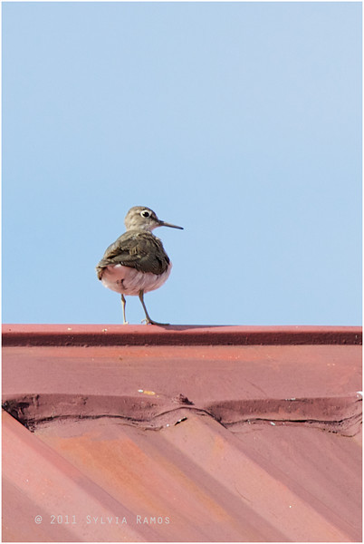 COMMON SANDPIPER on top of a roof! <i>Actitis hypoleucos</i> Batan, Batanes