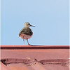 COMMON SANDPIPER on top of a roof! <i>Actitis hypoleucos</i> Batan, Batanes