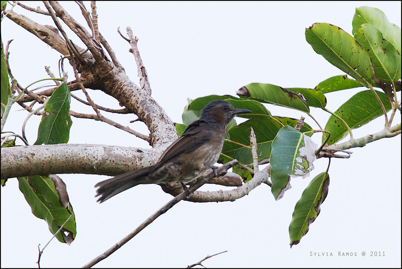 "CHESTNUT-EARED BULBUL <i>Microscelis amaurotis batanensis</i> aka Brown-eared Bulbul Batan, Batanes, Philippines  more pictures in the <a href=""http://tonjiandsylviasbirdlist.smugmug.com/List/Bulbuls/Chestnut-eared-Bulbul/20054936_SxhhGj"">Chestnut-eared Bulbul gallery</a>"