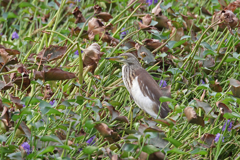 """CHINESE POND HERON <i>Ardeola bacchus</i> Batan, Batanes, Philippines  We saw this bird in the island of Batan. We think we can id this bird as a Chinese Pond Heron even if its not in breeding plumage because of the dusky wing tips that are visible in the in-flight shots. We are basing this on A Field Guide to the Birds of South-east Asia by Craig Robson where he says the Chinese Pond Heron in non-breeding is """"often with dusky tips to primaries"""" and """"possibly indistinguishable from other pond-herons but may tend to show more obvious dusky tips to outermost primaries than Javan"""".  We are presuming that it is a Chinese Pond Heron based on the distribution. But most of the experts would probably be more comfortable if we called this bird a Pond Heron species since it is not in breeding plumage."""