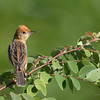 Golden-Headed Cisticola Cisticola