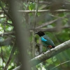 HOODED PITTA <i>Pitta sordida</i>