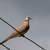 ISLAND COLLARED DOVE <i>Streptopelia bitorquata</i>