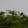 Pink-necked Green Pigeons and one Philippine Green Pigeon