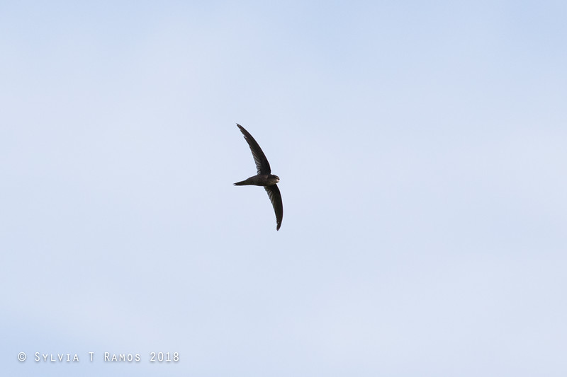 ASIAN PALM SWIFT <i>Cypsiurus balasiensis</i>