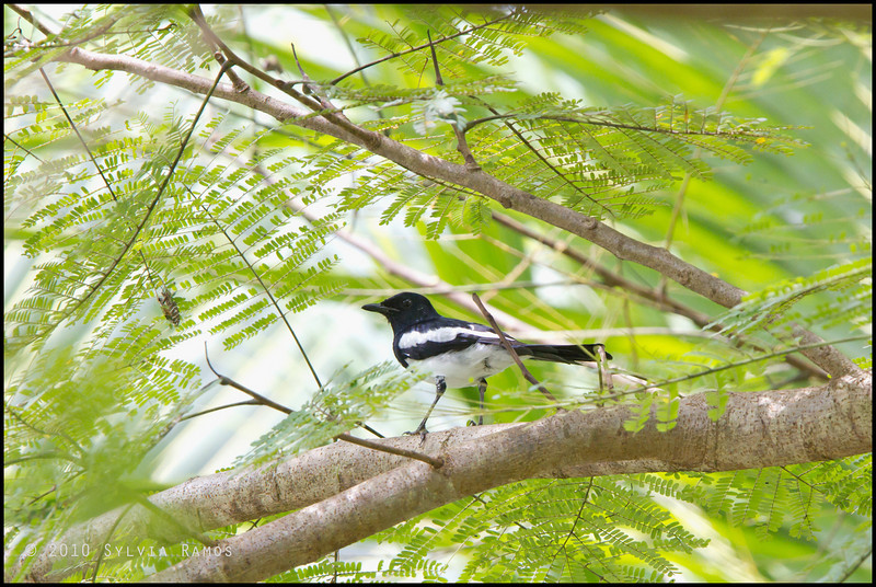"ORIENTAL MAGPIE ROBIN <i>Copsychus saularis</i> Simply Butterflies Resort, Bilar, Bohol  More pictures in the <a href=""http://tonjiandsylviasbirdlist.smugmug.com/List/Robins-Shamas-and-Thrushes/Oriental-Magpie-Robin/7347007_jTDNB#1017947207_pbqG2"">Oriental Magpie Robin gallery<a/>"