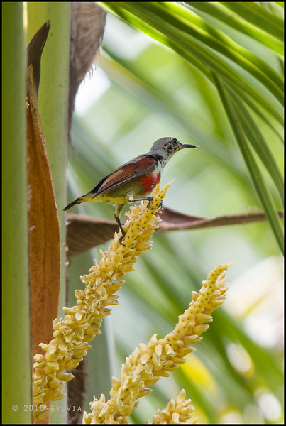 "PURPLE THROATED SUNBIRD, immature <i>Nectarinia sperata</i> Simply Butterflies Resort, Bilar, Bohol  more pictures in the <a href=""http://tonjiandsylviasbirdlist.smugmug.com/List/Sunbirds-and-Flowerpeckers/Purple-Throated-Sunbird/7383021_qqHYn#806250027_YkzPA"">Purple Throated Sunbird gallery<a/>"