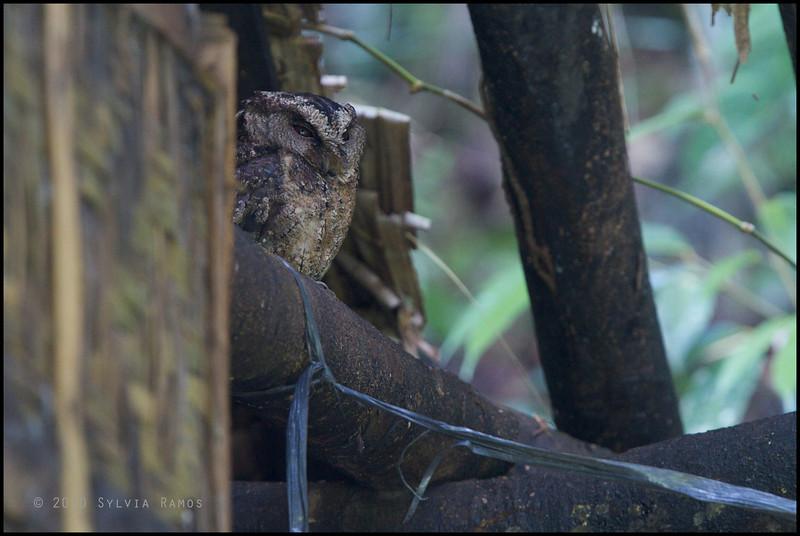 PHILIPPINE SCOPS OWL <i>Otus megalotis everetti</i> Rajah Sikatuna Park, Bilar, Bohol  This owl was resting in the dark inside a cottage.