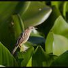 "ZITTING CISTICOLA  <i>Cisticola juncidis</i> Candaba, Pampanga, Philippines  more pictures in the <a href=""http://tonjiandsylviasbirdlist.smugmug.com/The-Bird-List/Flyeaters-Warblers-Grassbirds/Zitting-Cisticola/7363536_Bzbyh/1/751190542_3G3Yh"">Zitting Cisticola gallery<a/>"