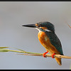 """COMMON KINGFISHER <i>Alcedo atthis</i> Candaba, Pampanga, Philippines  more pictures in the <a href=""""http://tonjiandsylviasbirdlist.smugmug.com/The-Bird-List/Kingfishers/Common-Kingfisher/7346748_ujyou/1/730701525_UZuAT"""">Common Kingfisher gallery</a>"""