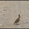 ORIENTAL SKYLARK<i>Alauda gulgula</i> Candaba, Pampanga, Philippines  I'm King of the World!