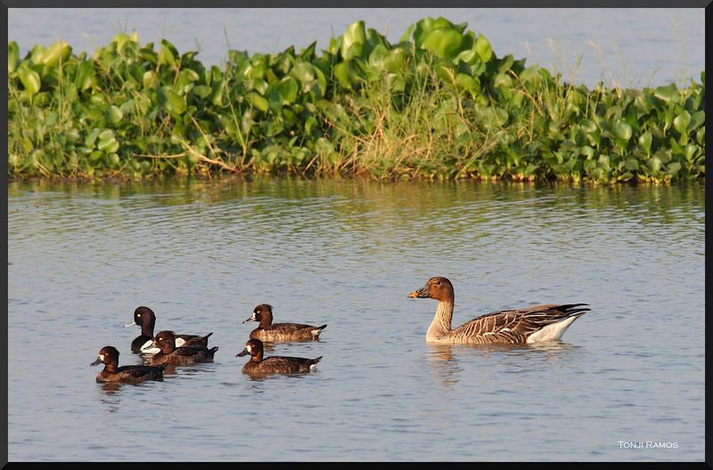 "TAIGA BEAN GOOSE <i>Anser fabalis fabalis</i> Candaba, Pampanga, Philippines  more pictures in the <a href=""http://tonjiandsylviasbirdlist.smugmug.com/List/Ducks/tbg/11698994_fFvhq#825509949_tvUoJ"">Taiga Bean Goose gallery</a>"
