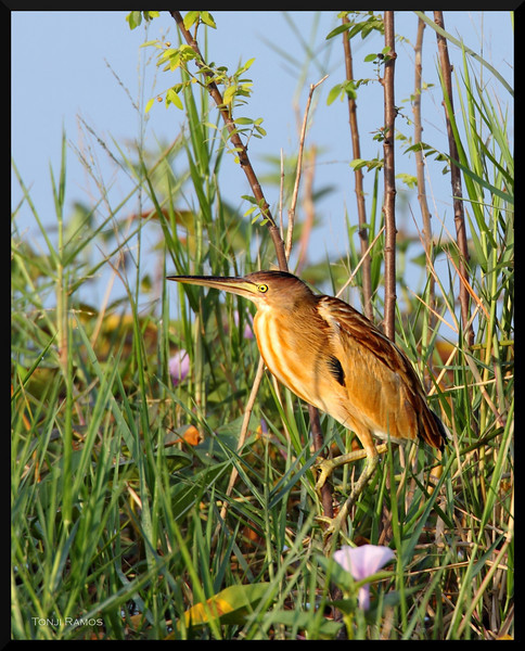 """YELLOW BITTERN <i>Ixobrychus sinensis</i> Candaba, Pampanga, Philippines  more pictures in the <a href=""""http://tonjiandsylviasbirdlist.smugmug.com/The-Bird-List/Herons-and-Bitterns/Yellow-Bittern/7361828_vKXpE/1/730746340_nYEQN"""">Yellow Bittern gallery</a>"""