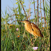 "YELLOW BITTERN <i>Ixobrychus sinensis</i> Candaba, Pampanga, Philippines  more pictures in the <a href=""http://tonjiandsylviasbirdlist.smugmug.com/The-Bird-List/Herons-and-Bitterns/Yellow-Bittern/7361828_vKXpE/1/730746340_nYEQN"">Yellow Bittern gallery</a>"