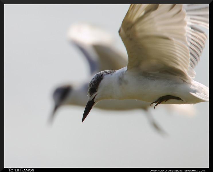 WHISKERED TERN, breeding plumage   <i>Chilidonias hybridus</i>  Candaba, Pampanga
