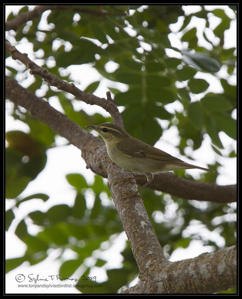 "ARCTIC WARBLER <i>Phylloscopus borealis</i> Candaba, Pampanga  more pictures in the <a href=""http://tonjiandsylviasbirdlist.smugmug.com/The-Bird-List/Flyeaters-Warblers-Grassbirds/Arctic-Warbler/7339935_8NEez/1/724241981_97iAk"">Arctic Warbler gallery</a>"