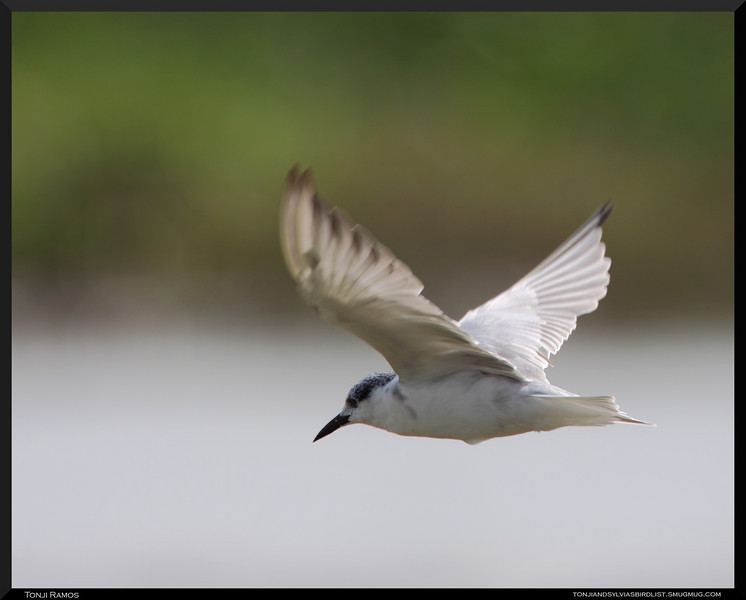 HISKERED TERN, breeding plumage   <i>Chilidonias hybridus</i>  Candaba, Pampanga