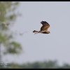 """EASTERN MARSH-HARRIER <i>Circus spilonotus</i> Candaba, Pampanga, Philippines  more pictures in the <a href=""""http://tonjiandsylviasbirdlist.smugmug.com/The-Bird-List/Osprey-Buzzards-Hawks-and/EMH/10222540_NNMN8/1/704779802_6SdWG"""">Eastern Marsh Harrier gallery</a>"""