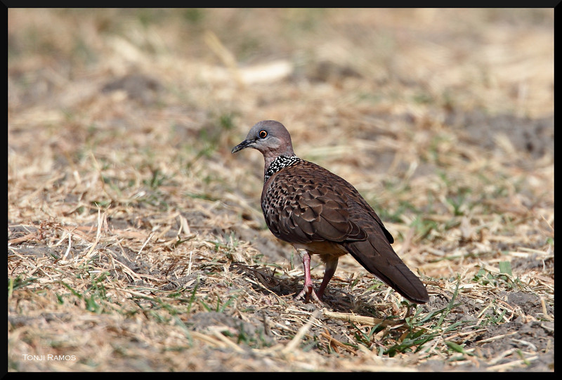 """SPOTTED DOVE <i>Streptopelia chinensis</i> Candaba, Pampanga, Philippines  more pictures in the <a href=""""http://tonjiandsylviasbirdlist.smugmug.com/The-Bird-List/Doves-and-Pigeons/Spotted-Dove/7339973_ydju9/1/564976442_gA5DA"""">Spotted Dove gallery</a>"""