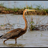 PURPLE HERON <i>Ardea purpurea</i> Candaba, Pampanga, Philippines