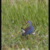 "PURPLE SWAMPHEN <i>Porphyrio porphyrio</i> Candaba, Pampanga, Philippines  more pictures in the <a href=""http://tonjiandsylviasbirdlist.smugmug.com/The-Bird-List/Crakes-Rails-and-Waterhens/Purple-Swamphen/7383244_gQnXF/1/730747357_tGbPF"">Purple Swamphen gallery</a>"