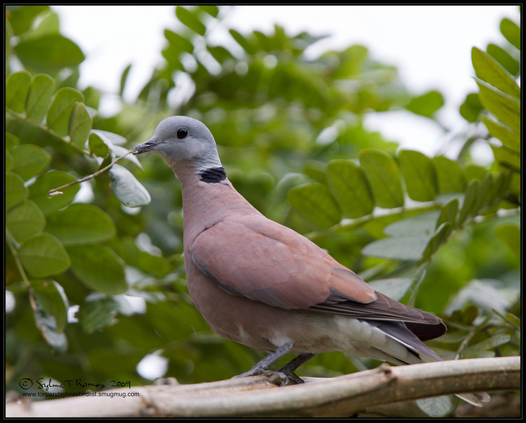 "RED TURTLE DOVE <i>Streptopelia tranquebarica</i> Candaba, Pampanga, Philippines  more pictures in the <a href=""http://tonjiandsylviasbirdlist.smugmug.com/The-Bird-List/Doves-and-Pigeons/Red-Turtle-Dove/7346724_cj7w9/1/730717519_gCkqi"">Red Turtle Dove gallery</a>"