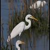 "GREAT EGRET  <i>Egretta alba</i>  Candaba, Pampanga, Philippines  more pictures in the <a href=""http://tonjiandsylviasbirdlist.smugmug.com/The-Bird-List/Egrets/Great-Egret/7340085_VQGWz/1/730729301_s9LQS"">Great Egret gallery</a>"