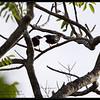 "HILL MYNA <i> Gracula religiosa</i> Coron, Palawan, Philippines  more pictures in the <a href=""http://tonjiandsylviasbirdlist.smugmug.com/The-Bird-List/Woodswallow-Shrikes-Starlings/Hill-Myna/10379918_HXsjo/1/718737641_HDtQu"">Hill Myna gallery</a>"