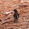 "WHITE-VENTED SHAMA, immature <i>Copsychus niger</i> Coron, Palawan, Philippines  more pictures in the <a href=""http://tonjiandsylviasbirdlist.smugmug.com/The-Bird-List/Robins-Shamas-and-Thrushes/White-vented-Shama/8591684_GV8Gt/1/628624948_4ADMB"">White Vented Shama gallery</a>"