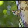 "RUFOUS-TAILED TAILORBIRD <i>Orthotomus sericeus</i> Coron, Palawan, Philippines  more pictures in the <a href=""http://tonjiandsylviasbirdlist.smugmug.com/The-Bird-List/Flyeaters-Warblers-Grassbirds/Rufus-tailed-Tailorbird/8591254_uxcNz/1/718732089_czS9s"">Rufous-Tailed Tailorbird gallery</a>"