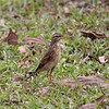 """ORIENTAL PIPIT aka RICHARD'S PIPIT <i>Anthus novaeseelandiae</i> Coron, Palawan, Philippines  more pictures in the <a href=""""http://tonjiandsylviasbirdlist.smugmug.com/The-Bird-List/Wagtails-and-Pipits/Oriental-Pipit-aka-Richards/7303986_dLwVV/1/628660609_939Vs"""">Oriental Pipit gallery</a>"""