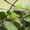 """PALAWAN FLOWERPECKER, female <i>Prionochilus plateni</i> Coron, Palawan, Philippines  more pictures in the <a href=""""http://tonjiandsylviasbirdlist.smugmug.com/The-Bird-List/Sunbirds-and-Flowerpeckers/Palawan-Flowerpecker/8591365_onefk/1/628665152_U4mdS"""">Palawan Flowerpecker gallery</a>"""