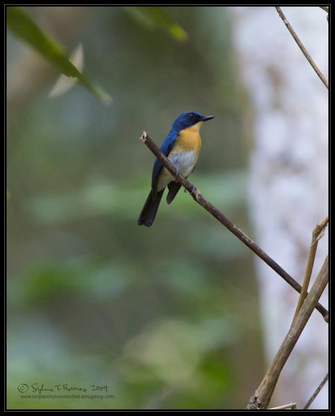 "PALAWAN BLUE FLYCATCHER <i>Cyornis lemprieri</i> Coron, Palawan, Philippines  More pictures in the <a href=""http://tonjiandsylviasbirdlist.smugmug.com/List/Fly-Fan/pbfc/11215021_SC3Fa#718783367_YLhRG"">Palawan Blue Flycatcher gallery</a>"