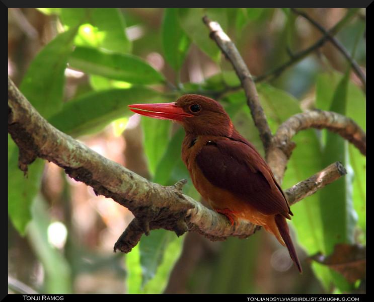 "RUDDY KINGFISHER <i>Halycon coromanda</i> Coron, Palawan, Philippines  more pictures in the <a href=""http://tonjiandsylviasbirdlist.smugmug.com/gallery/9317023_ycNbX/1/622818134_ziTee"">Ruddy Kingfisher gallery</a>"