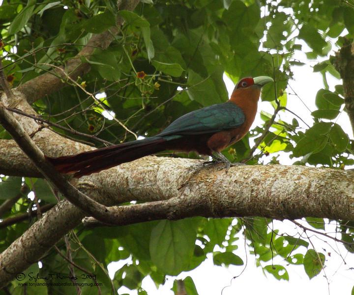 "CHESTNUT- BREASTED MALKOHA <i>Phaenicophaeus curvirostris</i> Coron, Palawan, Philippines  More pictures in the <a href=""http://tonjiandsylviasbirdlist.smugmug.com/gallery/8588052_rxZkH/1/624133327_mN66H"">Chestnut-Breasted Malkoha gallery</a>"