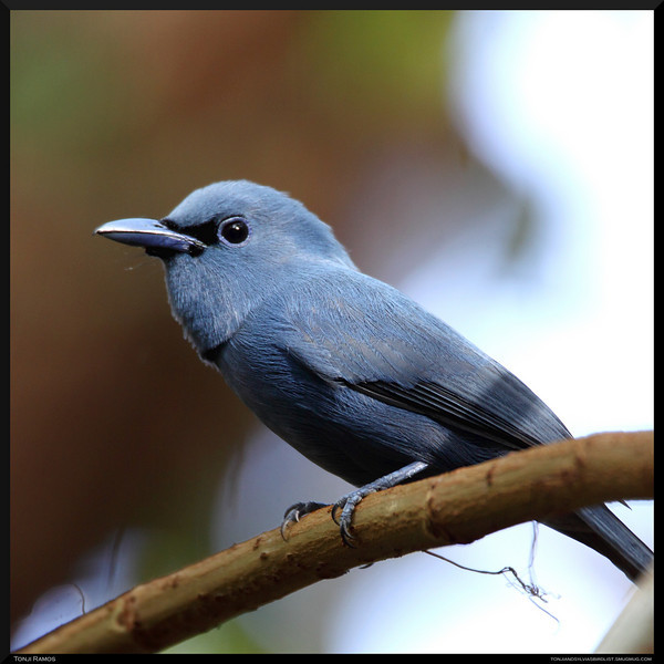 """BLUE PARADISE-FLYCATCHER <i>Terpsiphone cyanescens</i> Coron, Palawan, Philippines  more pictures in the <a href=""""http://tonjiandsylviasbirdlist.smugmug.com/The-Bird-List/Flycatchers-and-Fantails/Blue-Paradise-Flycatcher/9560777_gzJDF/1/718707796_kRDLH"""">Blue Paradise Flycatcher gallery</a>"""