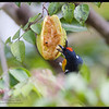 """PALAWAN FLOWEPECKER, male <i>Prionochilus plateni</i> Coron, Palawan, Philippines  more pictures in the <a href=""""http://tonjiandsylviasbirdlist.smugmug.com/The-Bird-List/Sunbirds-and-Flowerpeckers/Palawan-Flowerpecker/8591365_onefk/1/718791710_6fg7F"""">Palawan Flowerpecker gallery</a>"""