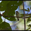 ASIAN BROWN FLYCATCHER <i>Muscicapa dauurica</i> Coron, Palawan, Philippines