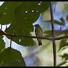 ASIAN BROWN FLYCATCHER <i>Muscicapa dauurica</i> Coron, Palawan, Philippines