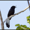 """WHITE-VENTED SHAMA <i>Copsychus niger</i> Coron, Palawan, Philippines  more pictures in the <a href=""""http://tonjiandsylviasbirdlist.smugmug.com/The-Bird-List/Robins-Shamas-and-Thrushes/White-vented-Shama/8591684_GV8Gt/1/717996140_feKfr"""">White-Vented Shama gallery</a>"""