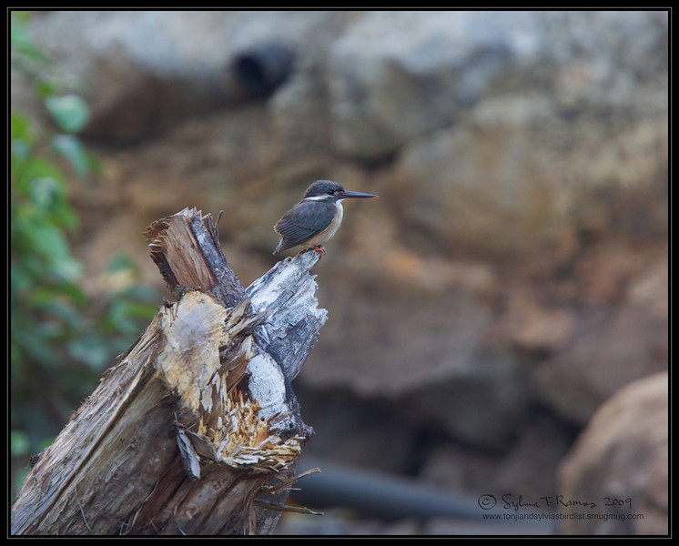 """COMMON KINGFISHER <i>Alcedo atthis</i> Coron, Palawan, Philippines  more pictures in the <a href=""""http://tonjiandsylviasbirdlist.smugmug.com/The-Bird-List/Kingfishers/Common-Kingfisher/7346748_ujyou/1/718718147_KoAq2"""">Common Kingfisher gallery</a>"""