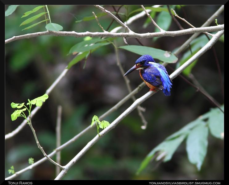 "BLUE-EARED KINGFISHER <i>Alcedo meninting</i> Coron, Palawan, Philippines  more pictures in the <a href=""http://tonjiandsylviasbirdlist.smugmug.com/gallery/9362258_wKWW3/1/626565276_WddC5"">Blue-Eared Kingfisher gallery</a>"